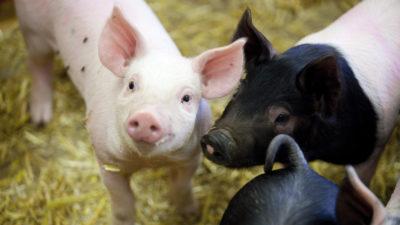 Köttmarknadsutveckling för griskött
