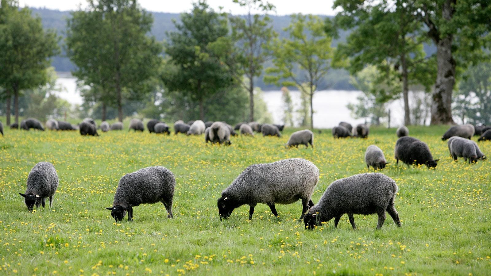 Vad görs för klimatet i den svenska köttproduktionen?