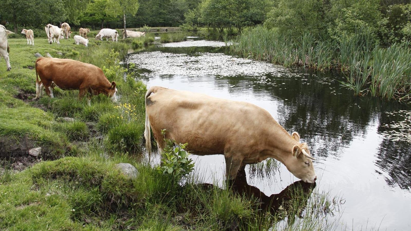 Vattenanvändningen för svenskt kött