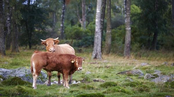 Köttmarknadsutveckling för nötkött