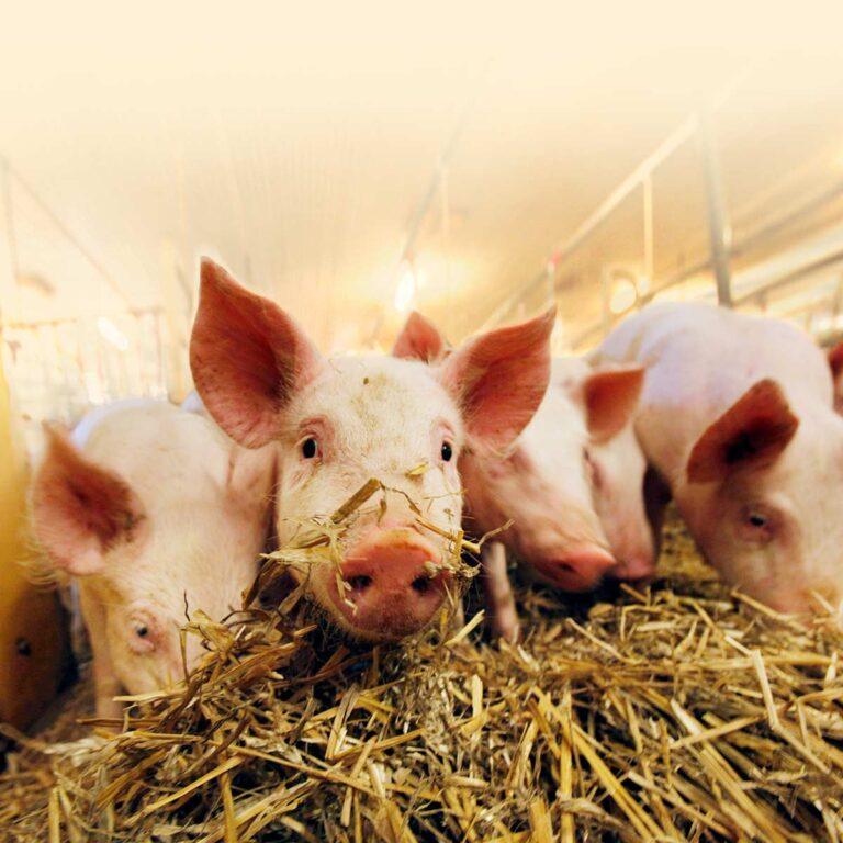 Varför ska man välja svenskt griskött?