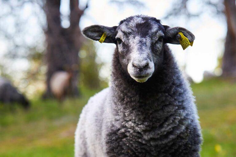 svensk djuruppfödning