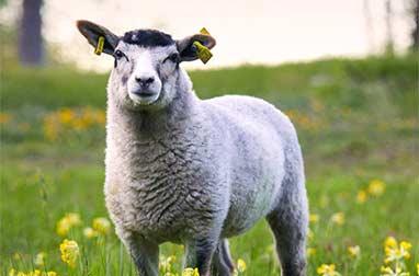 Midsommar behöver de betande djuren Lamm i hage med gullvivor