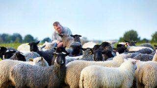 Varför ska man välja svenskt lammkött?