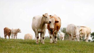 Varför ska man välja svenskt nötkött?