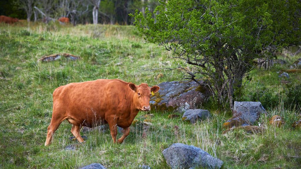 Kor på naturbetesmark