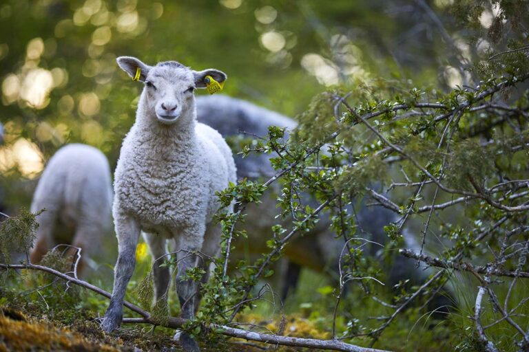 Svenskt lamm