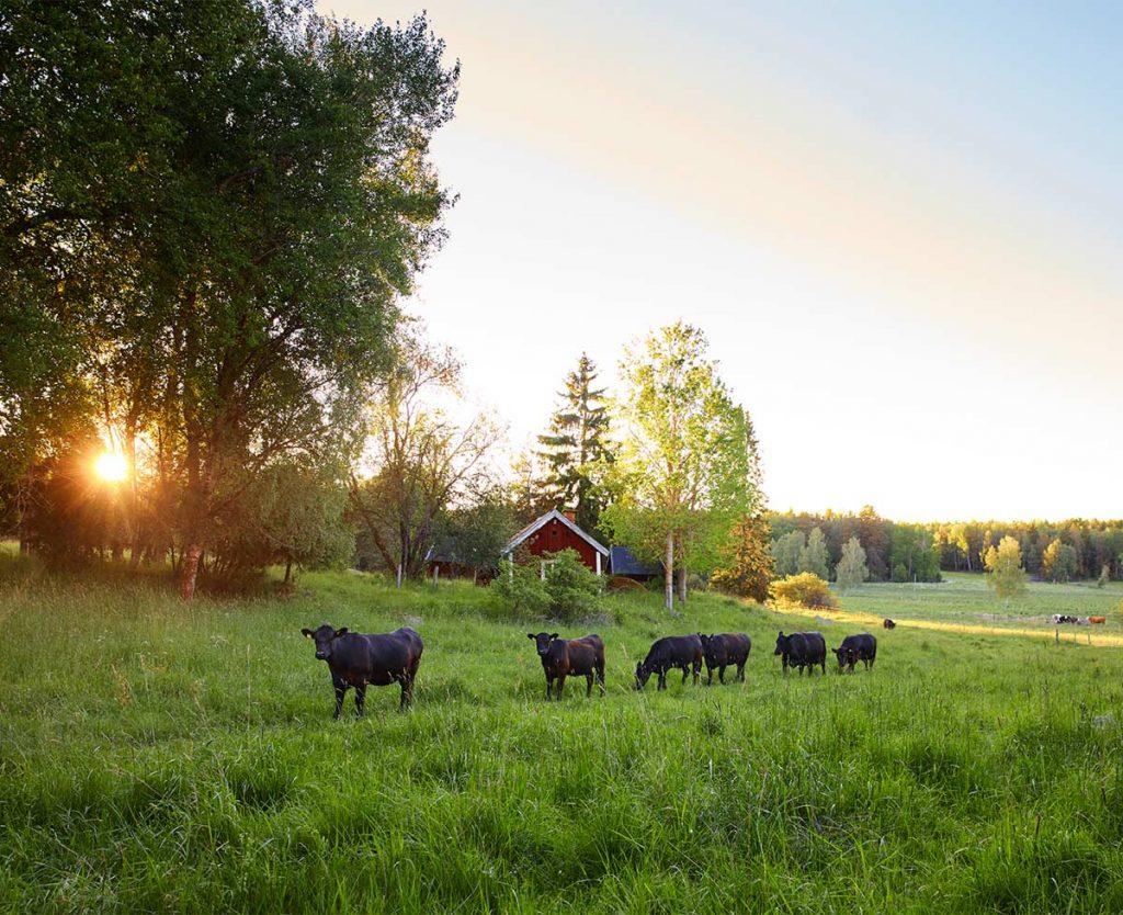 Kossor vid gård