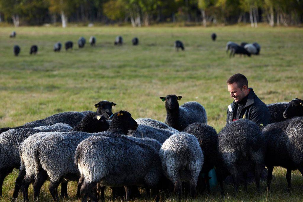 Sveriges fårbönder Rovdjursstrejkar