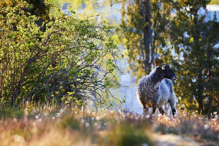 Hösten är lammsäsong